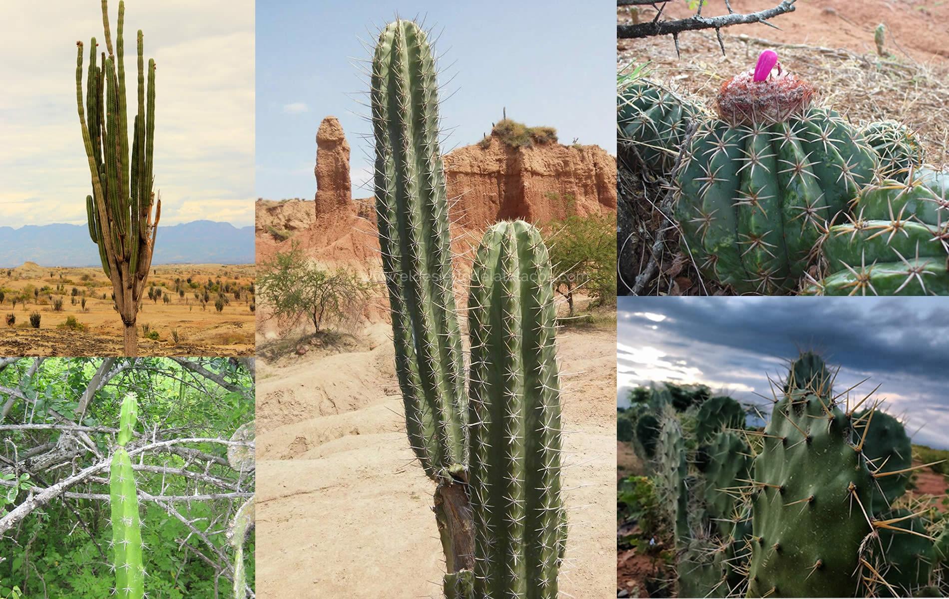 El Desierto de La Tatacoa y sus Mágicos Cactus